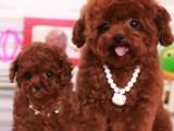 专业繁殖精品泰迪犬 疫苗齐全 保纯保健康 签协议