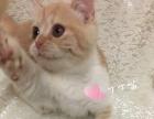 曼基康 曼赤肯 曼奇金矮脚短腿猫找新家