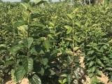河南1米柿子苗批发价 日本甜柿苗 厂家直销 值得信赖