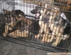 云南有没有德国牧羊犬卖 专业狗场常年出售纯种德牧幼犬