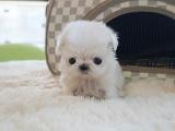 最长情的相伴 您的爱宠马尔济斯犬 给它一个温暖的家吧!