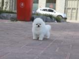 狗市可以买到纯种博美犬吗 多少钱一只