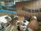 家养荷兰猪宝宝38 对再送小笼子