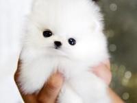 精品萌宠哈多利博美幼犬 小体型 纯种健康可签协议