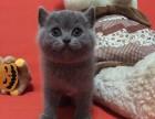 自养成都地区出售英短蓝猫包疫苗吃的是进口猫粮品种绝对正宗