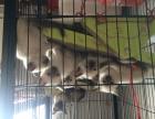 急售暹罗猫2个半月大.