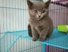 常年出售北京宠物猫蓝猫保健康签协议送货上门