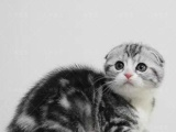 家庭猫舍出售美短折耳包纯种健康