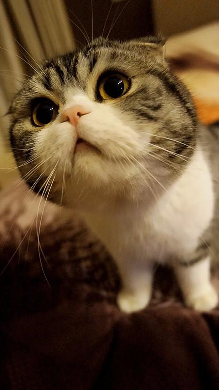 重庆哪里有苏格兰折耳 高地折耳猫卖 疫苗已做保健康