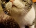 郑州哪里有苏格兰折耳 高地折耳猫卖 疫苗已做保健康