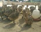 特种养殖鸵鸟苗的价格孔雀苗黑天鹅羊驼矮马出售