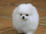 西安本地 出售博美幼犬 本地狗现货挑选 健康保障