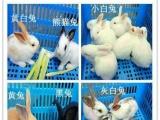 兔子荷兰猪仓鼠小母鸡