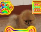 北京买博美 犬——种公配种全天营业——京津冀送狗上门