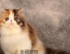 【波斯猫】出售大眼可爱小波斯猫健康活泼聪明毛量厚