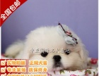 宠物狗 纯种京巴幼犬 看狗 免费送货上门