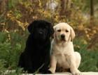 高智商拉布拉多犬 宽嘴大头品相好 纯种拉布拉多