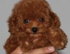 大头茶杯泰迪幼犬 宠物泰迪现货狗狗 包健康包 纯种家养