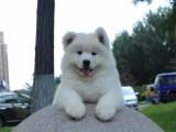南昌哪里有犬舍卖萨摩耶 南昌萨摩耶怎么卖的 萨摩出售