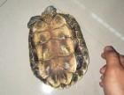巴西龟(背甲长18.5cm)