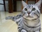 纯种美短虎斑猫加白明星后代
