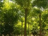 哈尔滨20公分合欢树基地去买