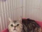 英国短毛猫 美国短毛猫 苏格兰折耳猫
