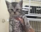南充七号宠物馆诚信为您推出纯种英短蓝猫健康无廯