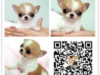 重庆犬舍出售纯种吉娃娃犬 自产自销 签协议 面对面交易