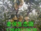 郑州周边哪里有夏黑葡萄 来荥阳老候生态采摘园