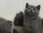 武汉猫舍 英短 正八字 蓝白 短毛猫 折耳猫金吉拉