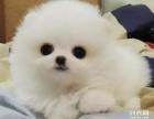 武汉狗狗之家长期出售高品质 博美 售后无忧