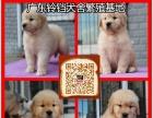 金毛犬正规养殖场出售 大头版大骨量金毛犬 包健康可送货上门