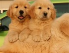 昆明 金毛幼犬 纯种安康保证 疫苗驱虫已做 签协议包售后
