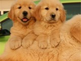 昆明 金毛幼犬 纯种健康保障 疫苗驱虫已做 签协议包售后