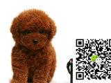 在哪里买纯种的贵宾幼犬 贵宾幼犬最低多少钱