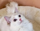 2月20日出生的蓝山猫玳瑁妹妹