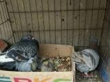 自己家养的信鸽,观赏鸽,白羽王便宜了