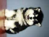 南京出售纯种阿拉斯加幼犬雪橇犬灰色阿拉斯加熊版