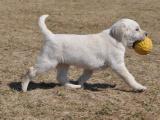 拉布拉多哪里有?纯种拉布拉多幼犬多少钱