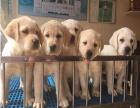 宁波市售拉布拉多 神犬小七 导盲犬包纯种保健康