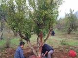 庆阳70公分皂角树基地专业种植苗木