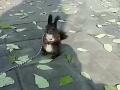 哪里有卖魔王松鼠的?魔王松鼠,包邮包活!