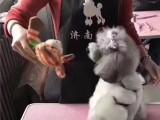 邯郸宠物美容 邯郸宠物美容师学校 邯郸宠物美容培训学校