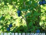 金小岗基地直销蓝莓苗