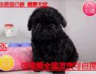 犬舍基地直销出生3个月的泰迪7只(5公/2母)