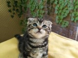 上海广州深圳北京赛级折耳猫价位 搜:双飞猫