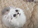 上海奉贤 金吉拉幼猫多少钱能买到