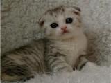 自家貓舍繁育折耳貓 包純種 包健康