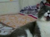 自家繁殖英国短毛猫蓝猫蓝白三花乳白全乳